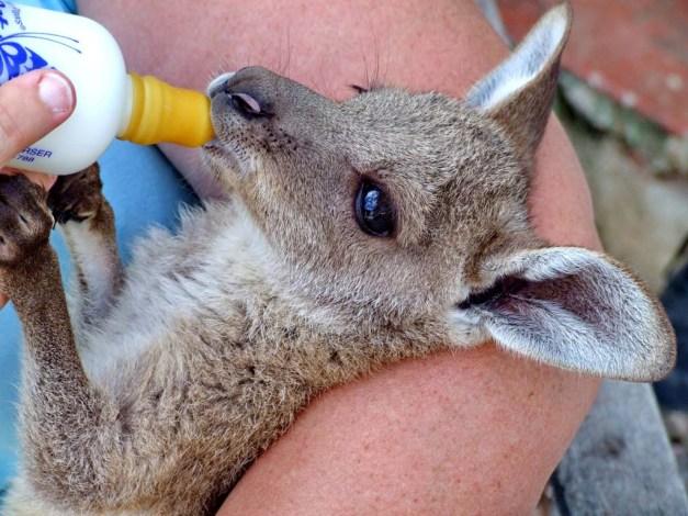 Baby Kangaroo,Kangaroo,baby animals,most adorable baby animals,c