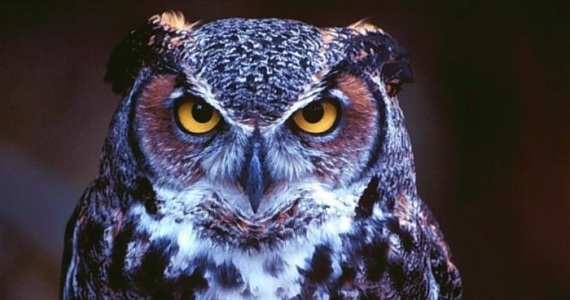 minerva-owl