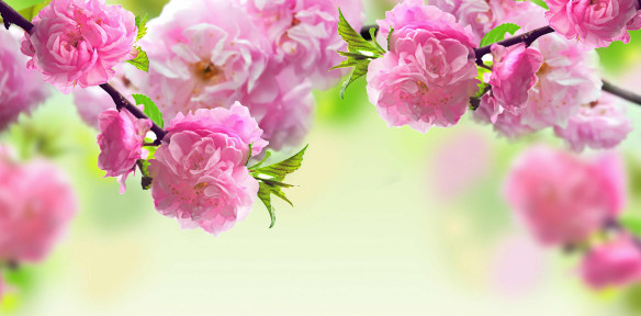 pink-roses-background-e1425879972862